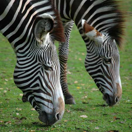 ZebraStudies